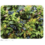 1-Gallon Blueberry Jelly Bean - Starting at $19.99